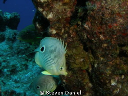 Two eyed butterfly fish by Steven Daniel